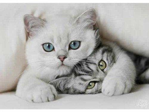 Como os gatos ronronam ?