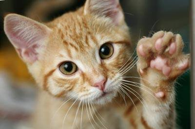Como os gatos ronronam?